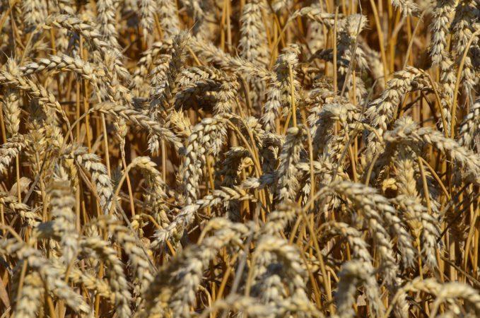 Eigene Getreidefelder