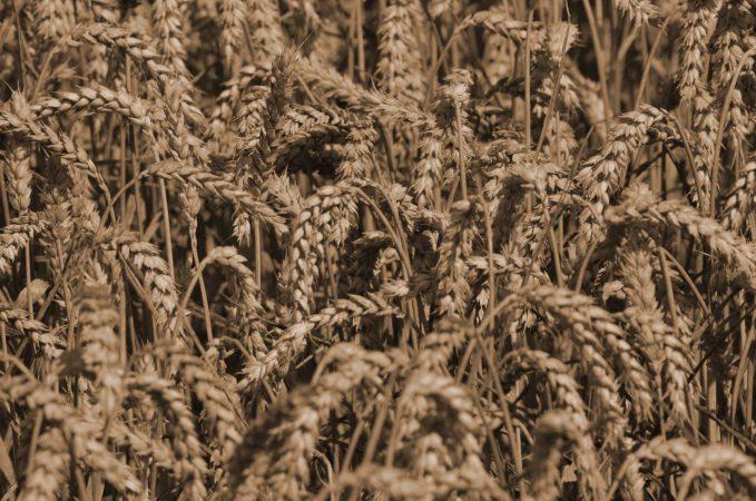 Wir verarbeiten Weizen, Roggen, Gerste (Malz) Dinkel oder Emmer